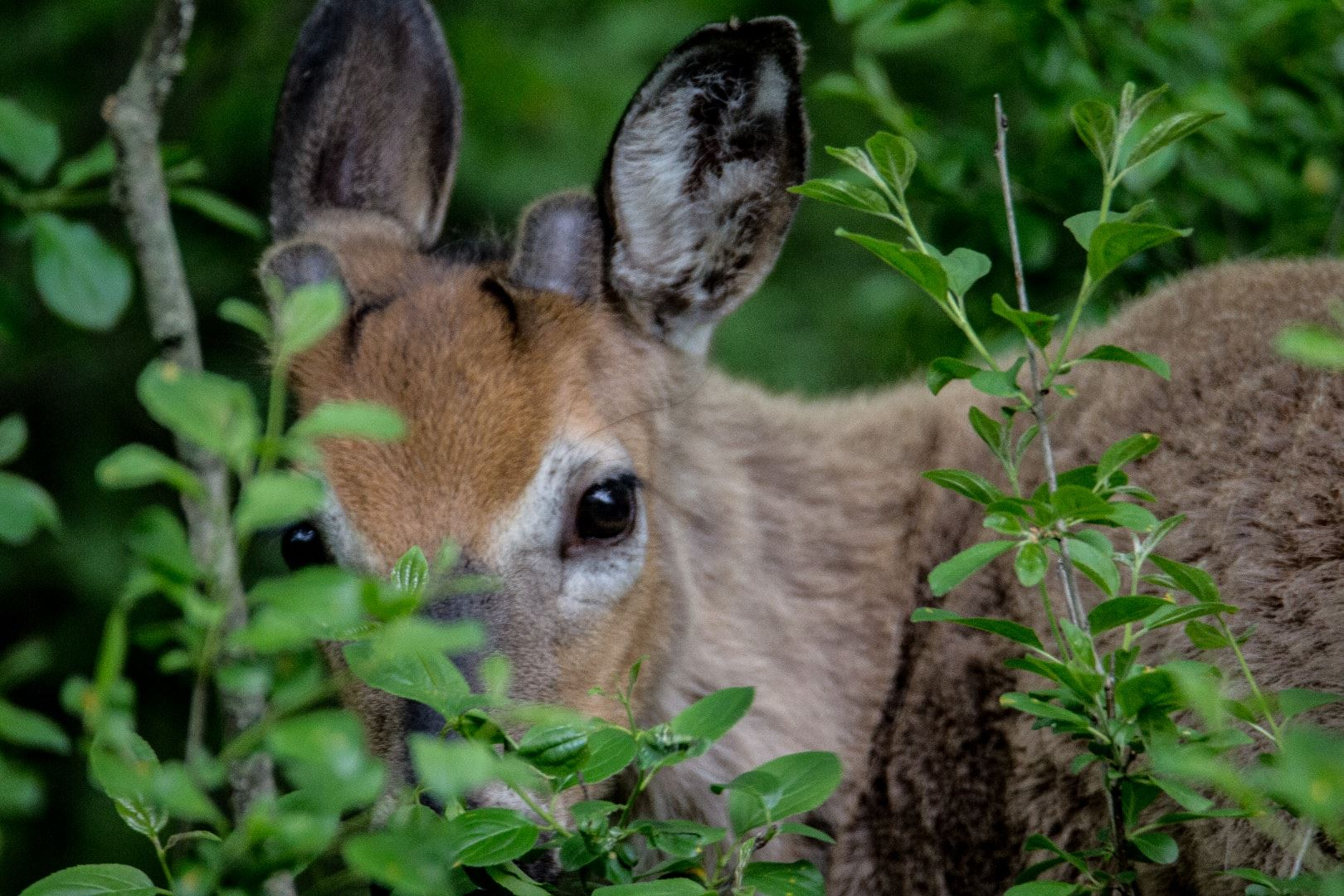 Deer Hiding in Foliage