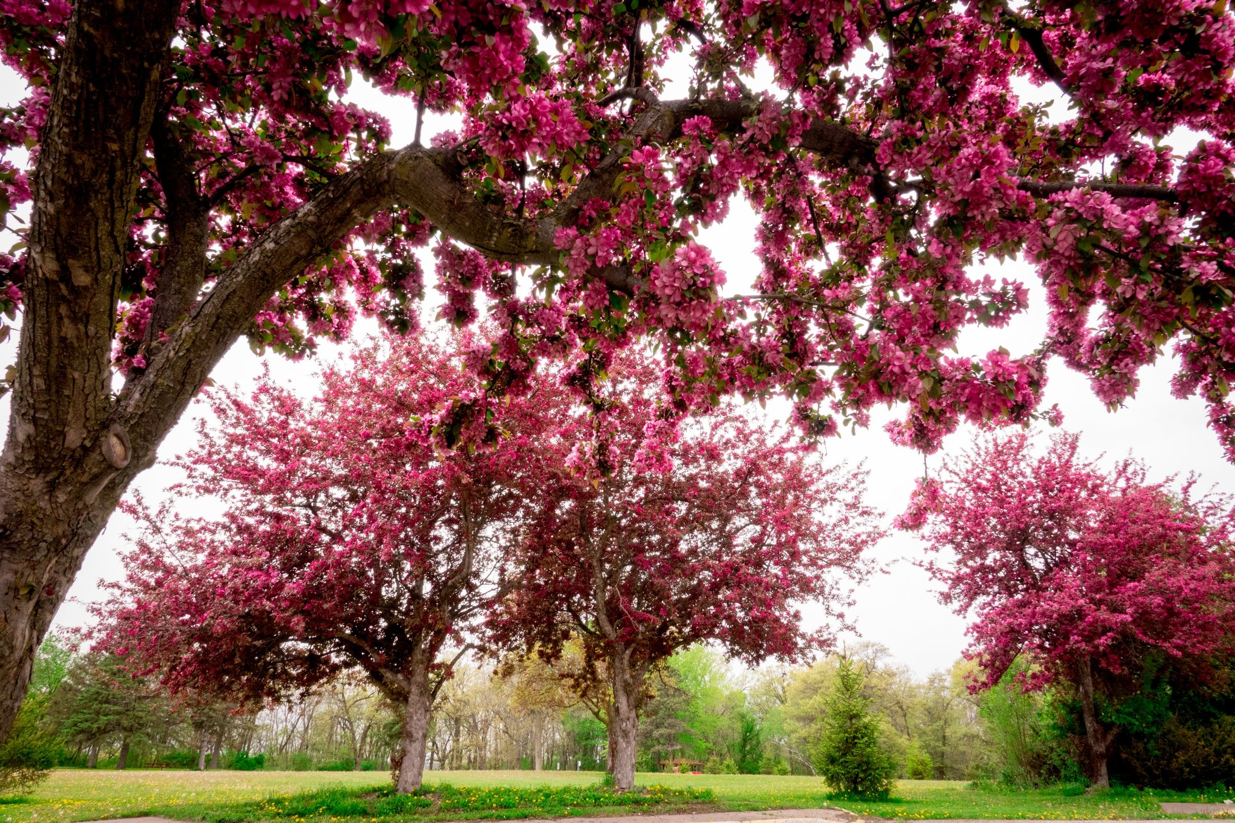 Pink Blossoming Trees